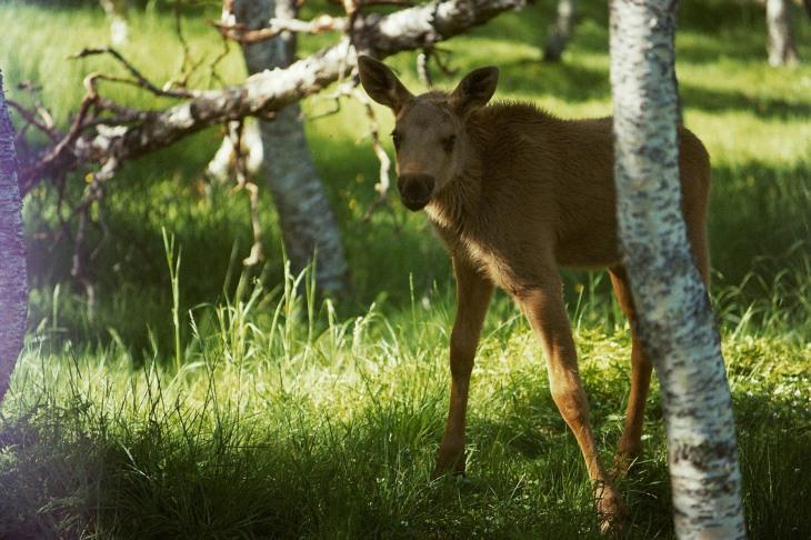 Kleiner Elch