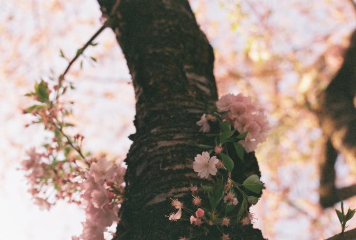 Kirschblueten am Stamm